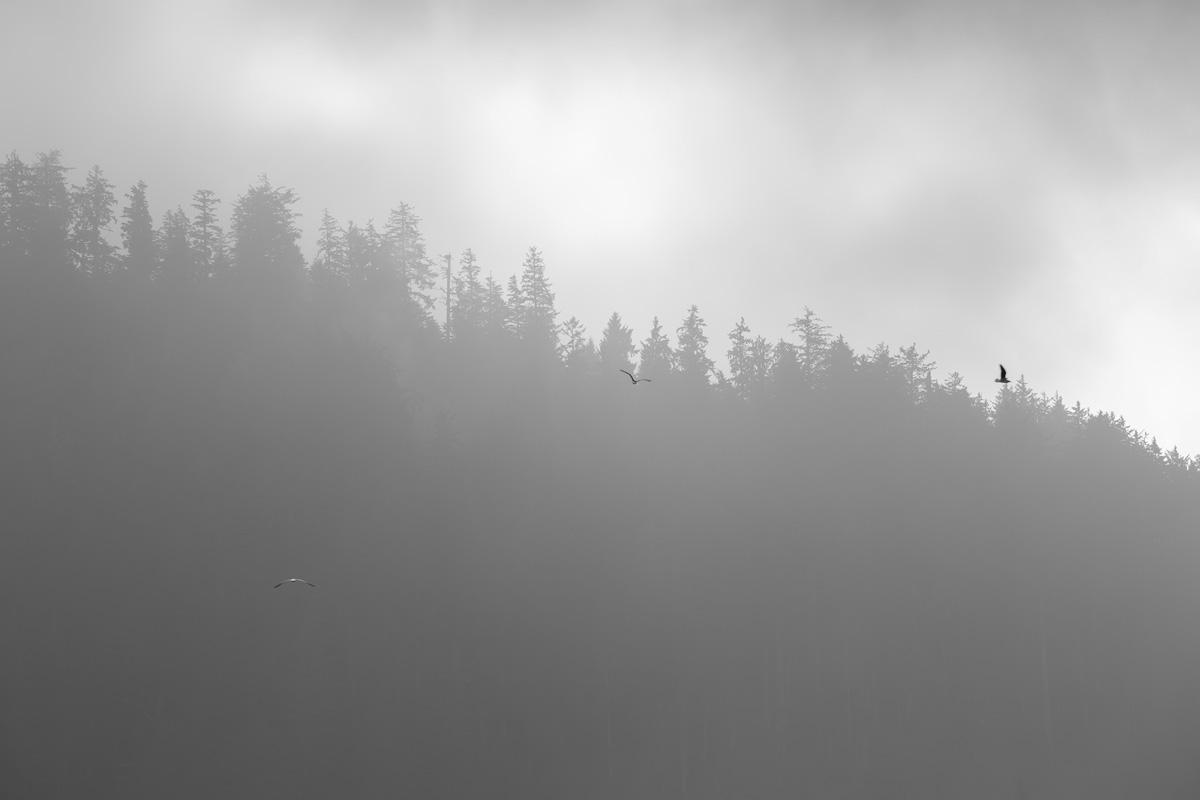 fog, birds, trees, black and white
